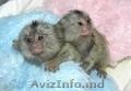Frumos marmoset maimuţă folositor pentru a adopta Xmas